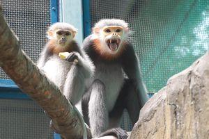 Vẻ đẹp loài voọc chà vá chân xám quý hiếm trong Thảo Cầm Viên Sài Gòn