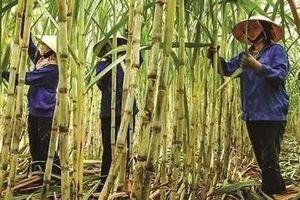 Cổ đông của Mía Đường Sơn La sắp nhận 68,5 tỉ đồng cổ tức