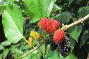 Vỏ rễ cây dâu trị ho suyễn do phế nhiệt, viêm thận