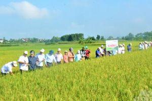 Giống lúa Dự hương 8 và VNR20 năng suất hơn 65 tạ/ha