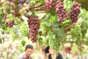 Lâm Đồng: Kiếm bộn tiền nhờ trồng nho Nhật Bản