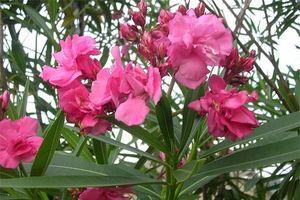 Cây độc: Trúc đào trồng làm cảnh, đừng quên toàn thân cây chứa chất độc chết người