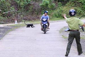 Quảng Trị: Voọc rượt đuổi, cắn người gây nguy cơ tai nạn trên đường HCM