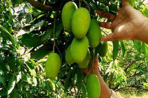 Đồng Nai: Thu 20 tỷ đồng/năm nhờ trồng xoài sạch