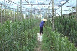 TP.HCM: Lão nông thành 'tỷ phú' nhờ trồng hoa kiểng Thái