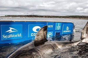 Bất ngờ phát hiện cá mập trắng 'nữ hoàng biển cả' nặng 1,6 tấn