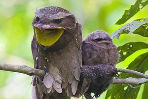 Frogmouth: Loài cú muỗi đáng yêu siêu nhiều biểu cảm