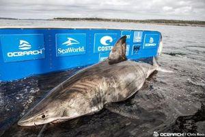 'Nữ hoàng đại dương' siêu khủng bắt được ở Canada thuộc loài gì?