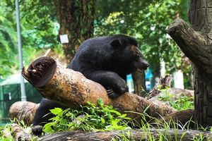 Đàn gấu ngựa ở Thảo Cầm Viên Sài Gòn có gì đặc biệt?