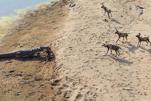 Cá sấu khổng lồ ngang nhiên cướp mồi của bầy chó hoang