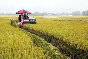 Hiệu quả vùng chuyên canh lúa ở Tam Hưng