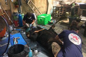 Cận cảnh chuyển giao cá thể gấu bị nuôi nhốt hơn 15 năm tại Hải Dương