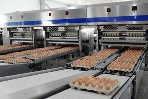 Hòa Phát cung cấp gần 550.000 quả trứng gà sạch mỗi ngày, lớn nhất miền Bắc