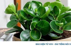 Những lưu ý chọn cây xanh để trong nhà