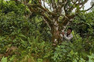 Lên vùng cao tìm cây chè cổ Tùng Xán