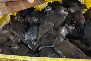 Cao Bằng: Bắt giữ xe khách chở hàng trăm con chim hoang dã
