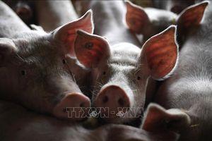 Dịch tả lợn châu Phi lan rộng tại Lào