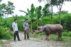 Tuyên Quang: Nông dân khá giả lên thấy rõ nhờ nuôi trâu, nuôi bò vỗ béo