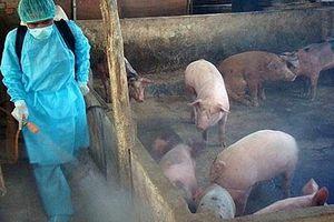 Ngăn chặn dịch tả lợn châu Phi tái phát, lây lan diện rộng