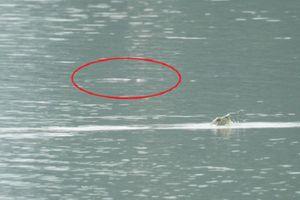 Ngoài rùa Đồng Mô, còn bao nhiêu rùa Hồ Gươm trên thế giới?