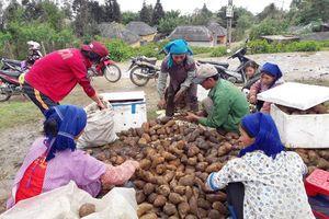 Vùng đất trồng thứ cây lạ lẫm, nhổ 1 gốc lên cả chùm củ, tên là sâm mà bán rẻ như khoai lang