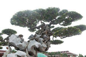 Choáng váng cây sanh cổ 'khủng' ôm đá kỳ vĩ nhất Việt Nam
