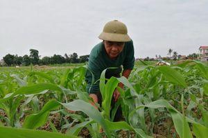 Hào hứng trồng ngô sinh khối