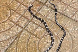 Phát hiện hàng loạt rắn cạp nia và hổ mang bò vào trụ sở xã và nhà dân sau lũ