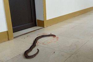 Hà Tĩnh: Sau lũ lụt, rắn độc thi nhau 'bỏ tổ' trốn vào nhà dân, văn phòng