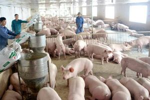 Tin NN: Người nuôi đối mặt nguy cơ ôm lỗ nếu dịch tả lợn châu Phi quay trở lại