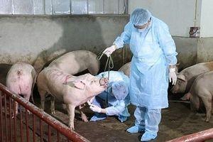 Hà Nội: Thực hiện đồng bộ các biện pháp phòng, chống bệnh dịch tả lợn châu Phi
