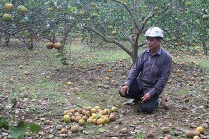 Đặc sản cam Con Cuông rụng hàng loạt sau mưa lũ