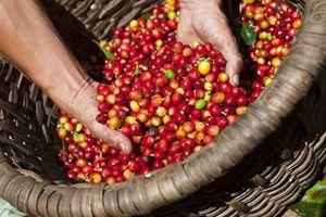 Giá nguyên liệu hôm nay 5/11: Cà phê giảm, giá tiêu biến động trái chiều