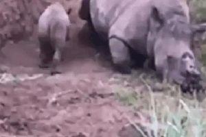 Tê giác mẹ bị săn trộm nằm gục chết, khoảnh khắc tê giác con lẩn quẩn bên xác lay mẹ dậy và làm một hành động gây xót xa khó tả