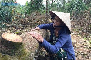 Rớt nước mắt chặt bỏ vườn cây ăn quả