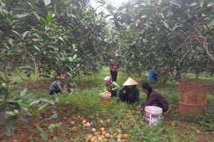Nghệ An: Người trồng cam xót xa nhặt hàng chục tấn quả rụng đổ đi