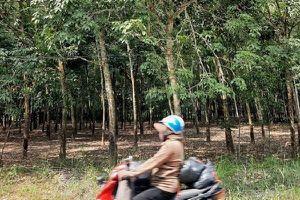 ĐBQH tỉnh Gia Lai nói cây cao su thải khí CO2, chuyên gia lên tiếng