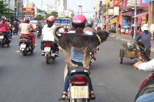 Nguy hiểm từ vật nuôi thả rông