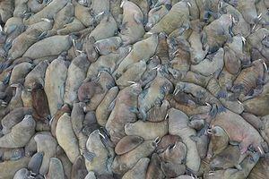 Ảnh động vật: Hải tượng nằm nghỉ la liệt trên bãi biển