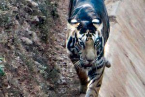 Phát hiện hổ đen quý hiếm, thế giới còn lại 6 con