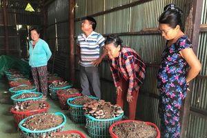 Triển vọng mô hình trồng nấm rơm dạng sọt