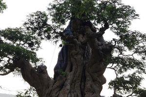 Mãn nhãn những cây me 'tuyệt thế' tiền tỷ đại gia mê mẩn