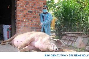 Dịch tả lợn Châu phi tái phát và diễn biến phức tạp tại Đắk Lắk