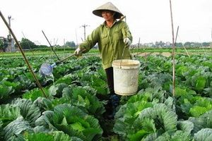 Hà Nội đã gieo trồng khoảng 25.000ha cây vụ đông