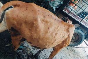 Cao Bằng: Dịch bệnh viêm da nổi cục trên trâu, bò gia tăng