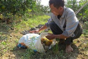 Cam tiến Vua ở Nghệ An rụng đầy vườn sau mưa lũ