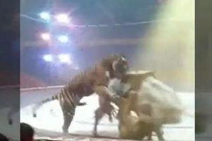 Hổ ăn thịt 'bạn diễn' ngay trên sân khấu rạp xiếc