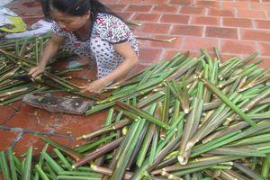 Nam Định: Người dân trồng Niễng thất thu vì rớt giá