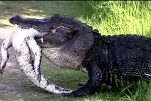 Cá sấu khổng lồ xơi tái đồng loại