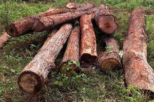 Gia Lai: Liên tiếp phát hiện 2 bãi gỗ lậu